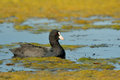 Eurasian coot the fulica atra on the lake Stock Photo