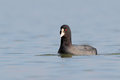 Eurasian coot fulica atra swims in water Royalty Free Stock Photography