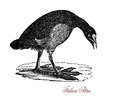 The Eurasian coot Fulica atra, vintage engraving