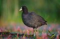 Eurasian Coot - Fulica atra Royalty Free Stock Photo