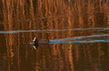 Eurasian coot reflections Royalty Free Stock Photo