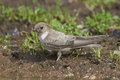 Eurasian crag martin Ptyonoprogne rupestris Royalty Free Stock Photo