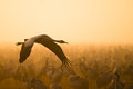 Eurasian crane flying Royalty Free Stock Photo
