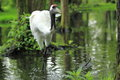 Eurasian crane the strolling in water Stock Photo