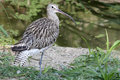 Eurasian Curlew (Numenius arquata) Royalty Free Stock Photo