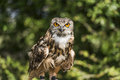 Eurasian eagle ow an adult owl with bright orange eyes Stock Photo