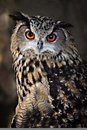 Eurasian Eagle-owl Royalty Free Stock Photography