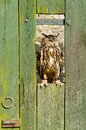 Eurasian Eagle Owl on barn door Royalty Free Stock Images