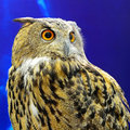 Eurasian eagle owl beautiful bird Stock Photos