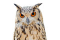 Eurasian eagle owl with big orange eyes isolated on white background Royalty Free Stock Image