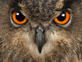 Eurasian Eagle-Owl, Bubo bubo, 15 years old Stock Image