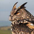 Eurasian Eagle-owl (Bubo bubo) Stock Photography