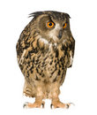 Eurasian Eagle Owl - Bubo bubo (22 months) Stock Photo