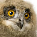 Eurasian Eagle Owl - Bubo bubo (6 weeks) Royalty Free Stock Photos