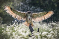 Eurasian eagle owl a bubo bubo comes into land in a meadow Stock Images