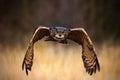 Eurasian Eagle Owl, Bubo Bubo,...
