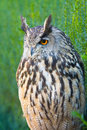 Eurasian eagle owl bubo bubo a species of Royalty Free Stock Images