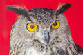 The eurasian eagle owl bubo bubo species of resident in much of eurasia Stock Images