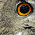 Eurasian eagle owl closeup eye of Royalty Free Stock Images