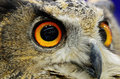 Eurasian eagle owl closeup eye of Stock Photos
