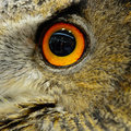 Eurasian eagle owl closeup eye of Royalty Free Stock Photos