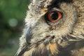 Eurasian eagle owl detail Royalty Free Stock Photo