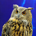 Eurasian eagle owl face profile Royalty Free Stock Image
