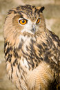 Eurasian Eagle Owl looking alert Stock Images