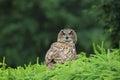 Eurasian eagle-owl Royalty Free Stock Photo