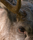 Eurasian Elk or Moose Stock Photo