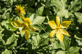 Eurasian flowering plant Yellow Star-of-Betlehem Royalty Free Stock Photo