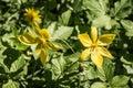Eurasian flowering plant Yellow Star-of-Betlehem Royalty Free Stock Photo