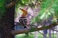 Eurasian Hoopoe  -2 Royalty Free Stock Photo