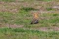 Eurasian Hoopoe bird Royalty Free Stock Photo