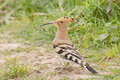 Eurasian hoopoe a upupa epops standing still on the ground Royalty Free Stock Images