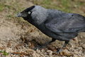 Eurasian jackdaw corvus monedula feeding on the ground Royalty Free Stock Photography