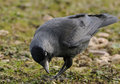 Eurasian jackdaw corvus monedula feeding on the ground Royalty Free Stock Image
