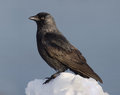Eurasian jackdaw corvus monedula is a passerine bird in the crow family Stock Photos