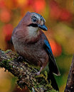 Image : Eurasian jay with the autumn colors around it  wooden paint