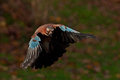 Eurasian jay Garrulus glandarius Royalty Free Stock Photo