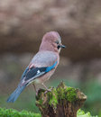 Eurasian jay an garrulus glandarius erects the feathers of it s neck a characteristic attitude showing excitement Royalty Free Stock Images