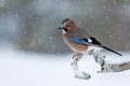 Eurasian jay garrulus glandarius perched on a tree branch in in snowy scene norway Royalty Free Stock Image