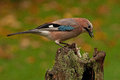 Eurasian jay have caught a the wood mouse garrulus glandarius apodemus sylvaticus and sits on an old stump Royalty Free Stock Image