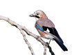 Eurasian Jay isolated Stock Photos