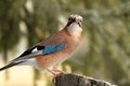 Eurasian jay looking towards the camera garrulus glandarius while standing on an old spruce stump Stock Images