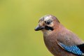 Eurasian jay portrait Royalty Free Stock Photo