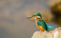 Eurasian kingfisher Royalty Free Stock Photo