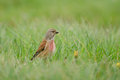 Eurasian linnet Stock Photos