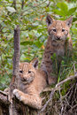 Eurasian lynx cubs Royalty Free Stock Images