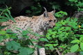 Eurasian lynx the in the forest Royalty Free Stock Photos